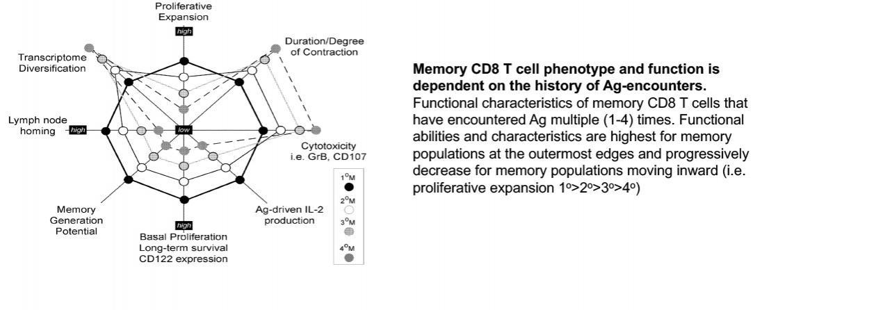 Memory CD8 T cell phenotype and function is dependent on Ag-encouners